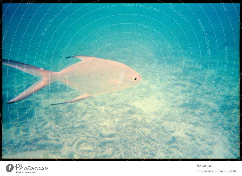 beautyfish Umwelt Natur Riff Wildtier Fisch 1 Tier ästhetisch Meer tropisch analog Schwimmen & Baden einzeln blau Sommer tauchen Indischer Ozean Seychellen