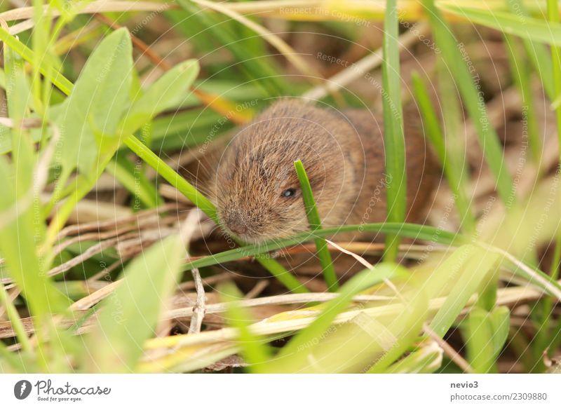 Klein Umwelt Natur Landschaft Gras Wiese Feld Tier Haustier Maus 1 klein braun Gefühle Vorsicht Erdmaus Nagetiere Lebewesen Nase Geruch Klaviatur winzig Neugier