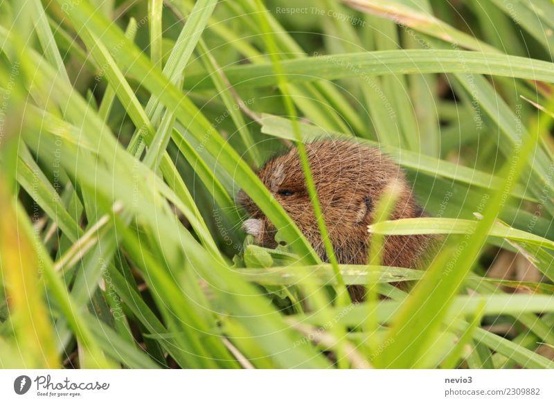 Kleine Maus nagt an grünem Blatt Umwelt Natur Pflanze Tier Frühling Sommer Gras Grünpflanze Nutzpflanze Garten Wiese Feld Haustier Nutztier Wildtier Tiergesicht