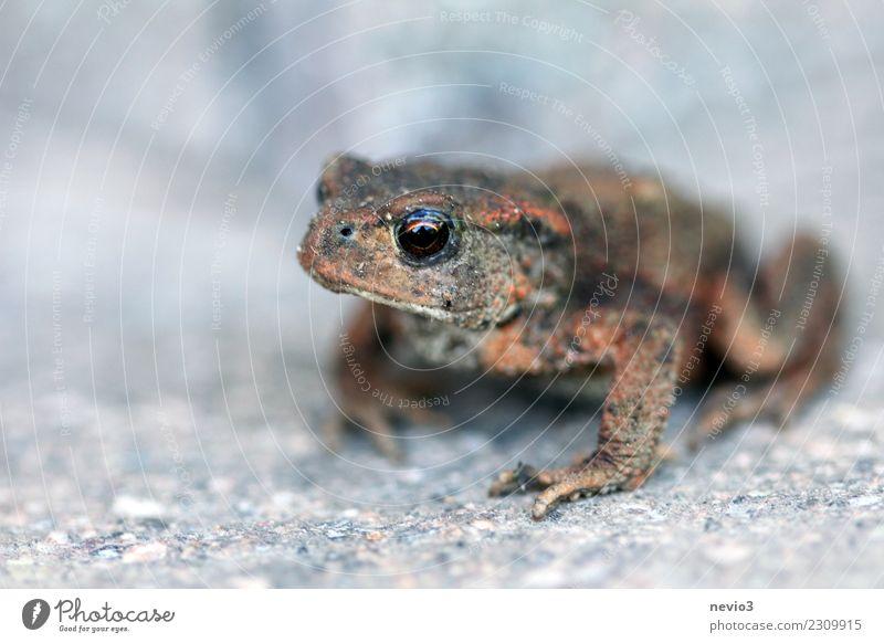 Kröte sitzt auf Steintreppe Umwelt Urelemente Erde Garten Tier Wildtier Frosch 1 klein nackt nass natürlich schön braun grau Froschlurche Krötenwanderung Auge