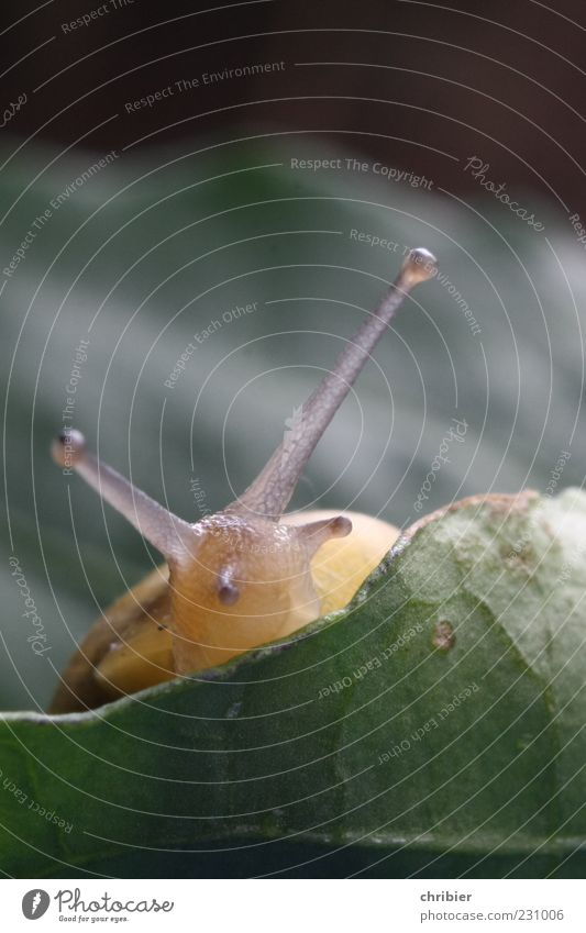 """""""Pssst ... ist schon Frühling???"""" Natur Pflanze Tier Blatt Schnecke Schneckenhaus Schneckenschleim Fühler 1 beobachten nah niedlich schleimig weich gelb grün"""