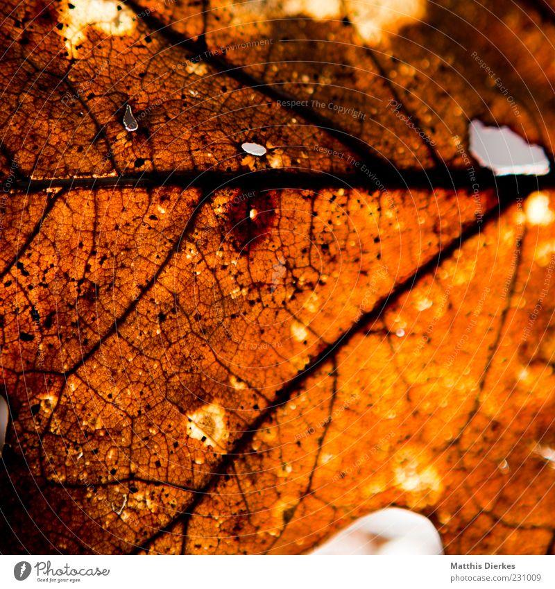 Zerfall Umwelt Natur Herbst Blatt alt authentisch außergewöhnlich dreckig kaputt trashig trist braun gelb gold Strukturen & Formen Vergänglichkeit Farbfoto