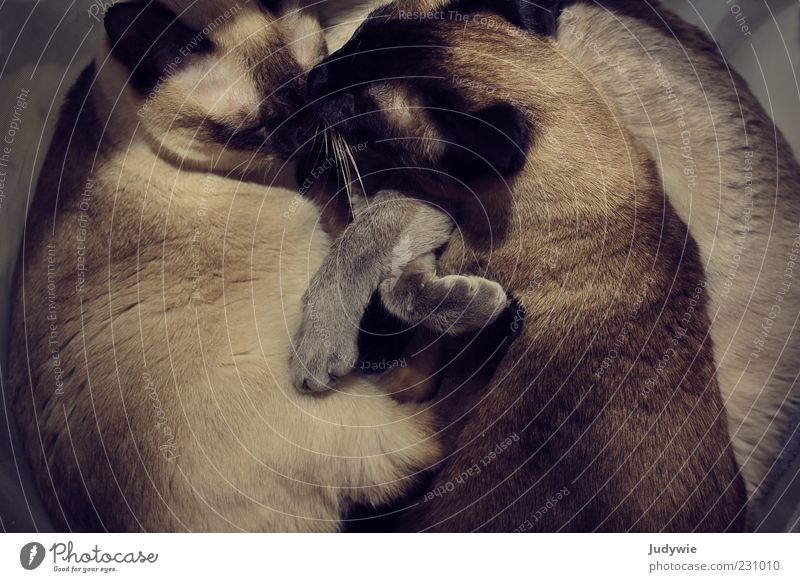 Nähe ruhig Tier Haustier Katze Fell Fellpflege Siamkatze Tiergruppe Tierfamilie schlafen weich grau Stimmung Vertrauen Sicherheit Geborgenheit Warmherzigkeit