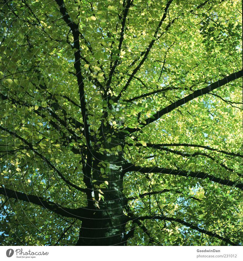 grün. Umwelt Natur Herbst Schönes Wetter Pflanze Baum Blatt alt frei groß Unendlichkeit hoch schön viele Stimmung Farbfoto Außenaufnahme Menschenleer Licht