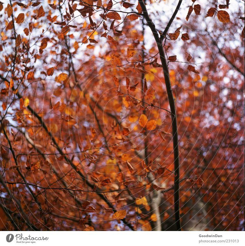 rot. Natur Baum Pflanze Blatt Herbst Umwelt Stimmung groß frei Wandel & Veränderung viele trocken Textfreiraum herbstlich Geäst Herbstfärbung