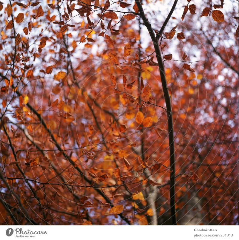 rot. Umwelt Natur Herbst Pflanze Baum Blatt frei groß trocken viele Stimmung Farbfoto Außenaufnahme Menschenleer Licht Kontrast Schwache Tiefenschärfe Totale