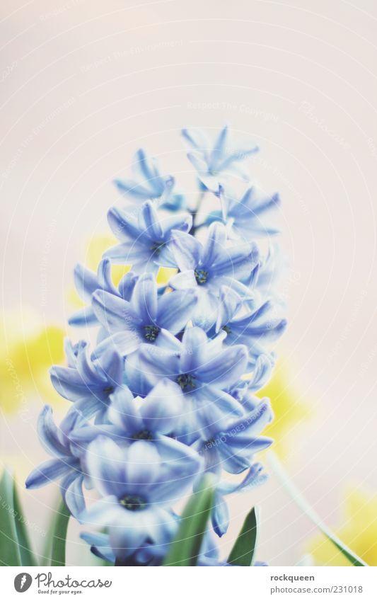Blau sein Natur Pflanze Frühling Sommer Schönes Wetter Blume Blüte Topfpflanze ästhetisch nah blau gelb Farbfoto mehrfarbig Außenaufnahme Nahaufnahme