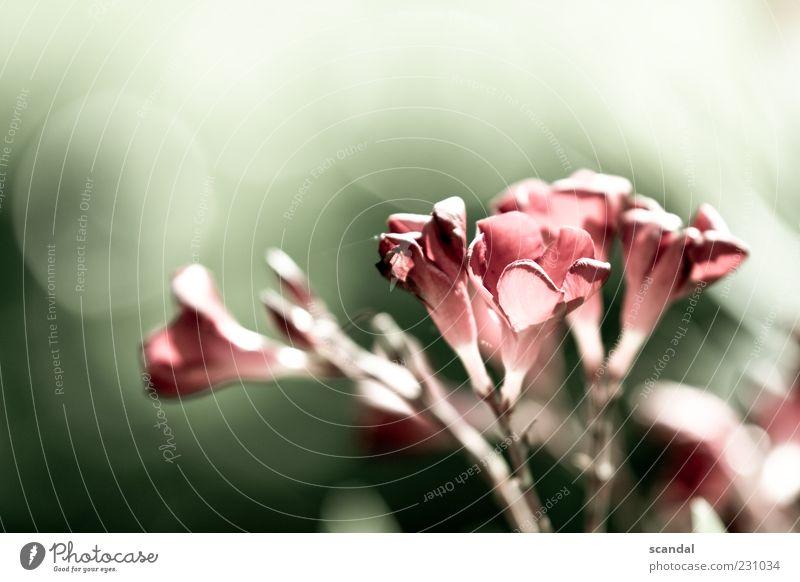 soft Natur Pflanze Sommer Blüte Gefühle ruhig Zufriedenheit Lignano Farbfoto Außenaufnahme Detailaufnahme Tag Licht Schwache Tiefenschärfe Blume Stengel