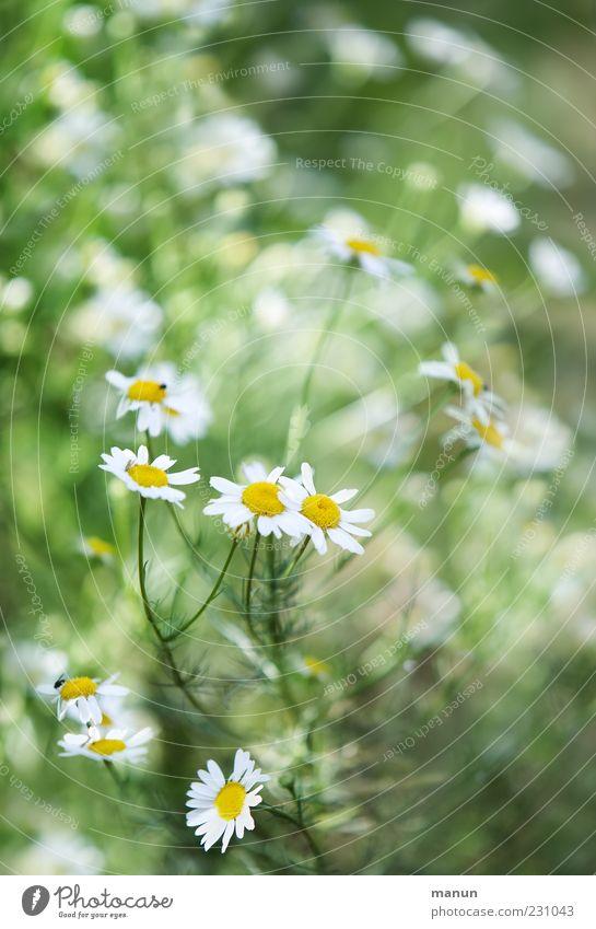 Kamillenstrauch Natur Pflanze Blatt Blüte natürlich frisch Sträucher Duft Kräuter & Gewürze Heilpflanzen Nutzpflanze Kamillenblüten