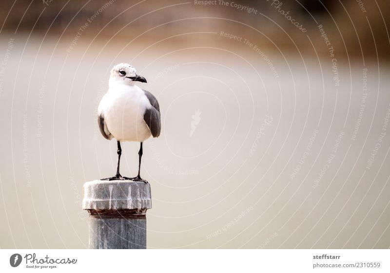 Lachender Mövenvogel Leucophaeus atricilla Natur Teich Tier Wildtier Vogel 1 schwarz weiß Leukophaeus atricilla Lachmöwe Möwe Entenvögel Dilettant Feder