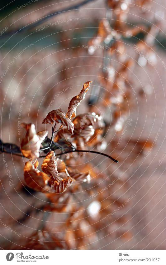 Herbstgold Natur alt Baum Pflanze Blatt Herbst Umwelt braun Wachstum Vergänglichkeit trocken Herbstlaub herbstlich welk Herbstfärbung