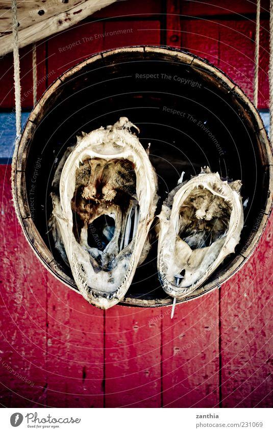 Ungeheuer Tier Fisch 2 Gebiss Maul Fass rot Seeteufel getrocknet Fischereiwirtschaft Tierpräparat Farbfoto mehrfarbig Nahaufnahme Menschenleer