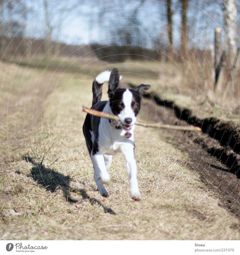 Fliegender Galopp Natur Hund Tier Leben Spielen Gefühle Bewegung laufen natürlich rennen Fröhlichkeit niedlich Freundlichkeit Lebensfreude frech Stock