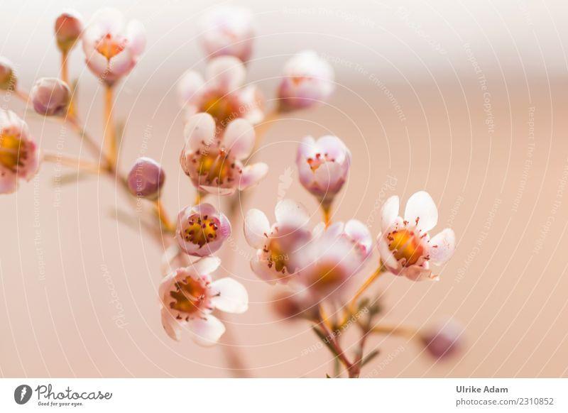 Zarte Blüten der Wachsblume Dekoration & Verzierung Tapete Natur Pflanze Frühling Sommer Herbst Blume Chamelaucium uncinatum Blumenstrauß Blühend leuchten weich