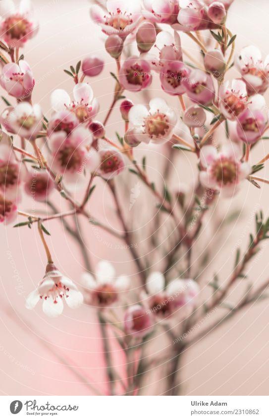 Makro der Wachsblume (Chamelaucium uncinatum) Natur Pflanze Frühling Sommer Herbst Winter Blume Blüte Topfpflanze Blumenstrauß Blühend frisch schön rosa weiß