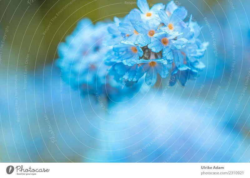 Makro einer blauen Kugel-Primel (Primula denticulata) elegant Design Leben harmonisch Wohlgefühl Zufriedenheit Erholung ruhig Meditation einrichten