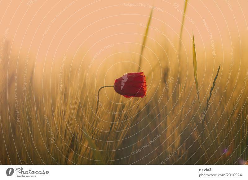 Mohnblüte im Getreidefeld Natur Pflanze grün Landschaft Blume rot Blatt Freude gelb Umwelt Blüte Wiese Gras Glück Feld Lebensfreude
