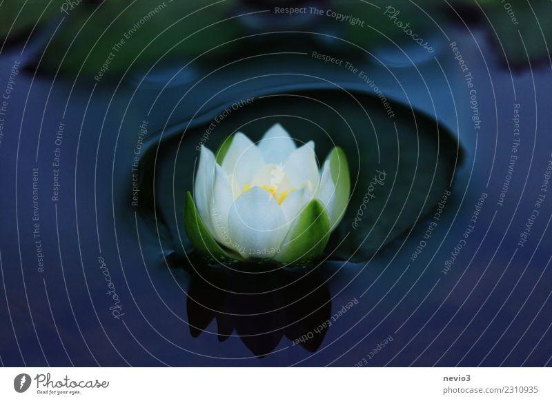 Weiß blühende Seerose Natur Pflanze blau grün Wasser weiß Blume Blatt Umwelt Blüte Frühling Küste Garten Park Blühend