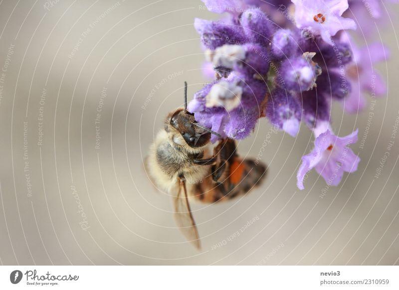 Biene kopfüber an einer Lavendelblüte hängend Umwelt Natur Pflanze Frühling Sommer Blume Blüte Nutzpflanze Wildpflanze Garten Park Tier Nutztier Wildtier