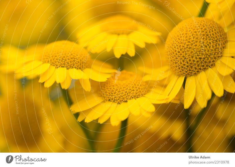Lust auf Sommer - Blüten der Färberkamille Natur Pflanze Blume Erholung ruhig Leben gelb Frühling Wiese Glück Garten Zufriedenheit Park Dekoration & Verzierung