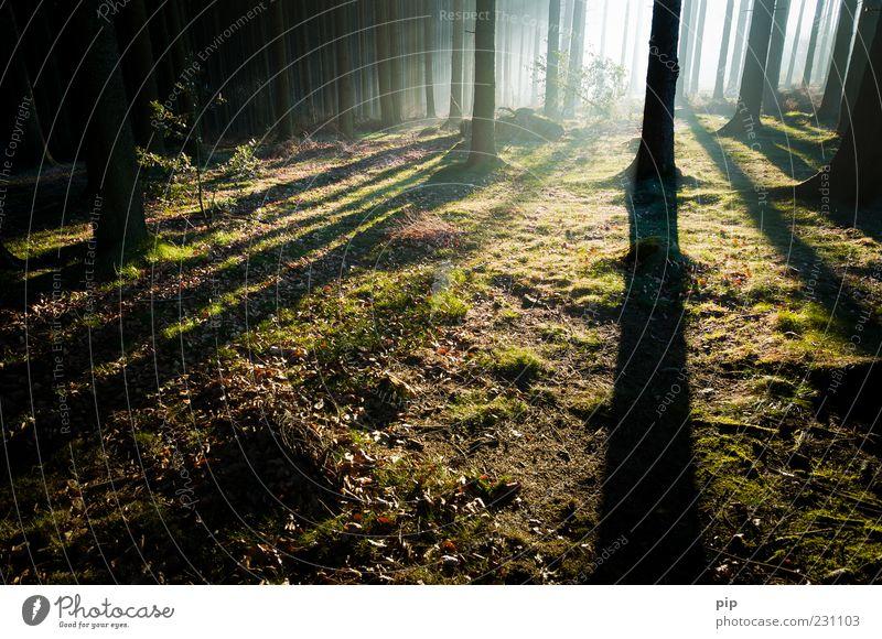 lichtung Umwelt Natur Nebel Baum Moos Fichte Tanne Fichtenwald Baumstamm Wald dunkel Wildnis hell Morgen Farbfoto Außenaufnahme Menschenleer Textfreiraum unten