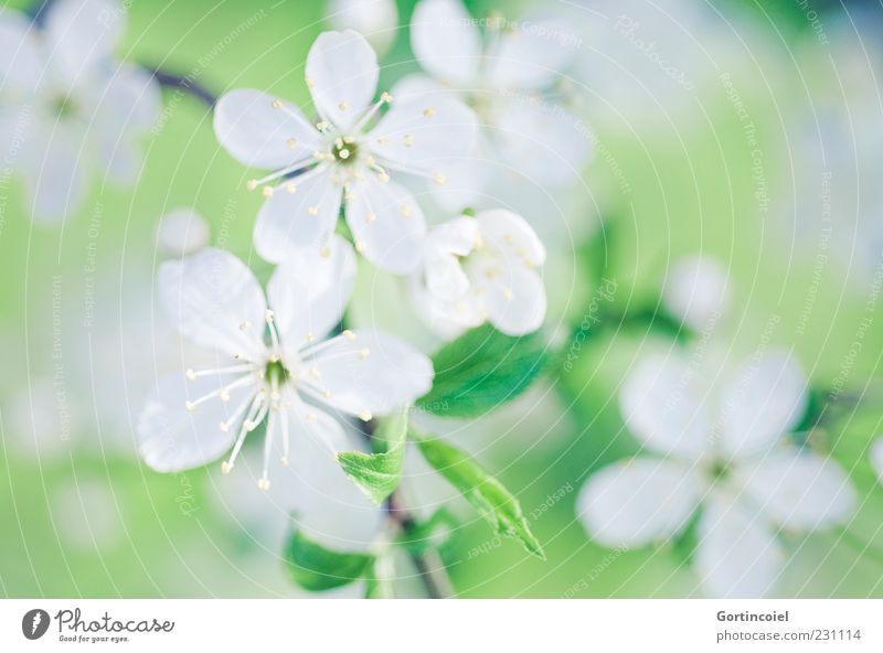 Blüht mal schön Natur grün weiß schön Baum Pflanze Blatt Blüte Frühling Blütenblatt Zweige u. Äste Blütenstempel Frühlingstag