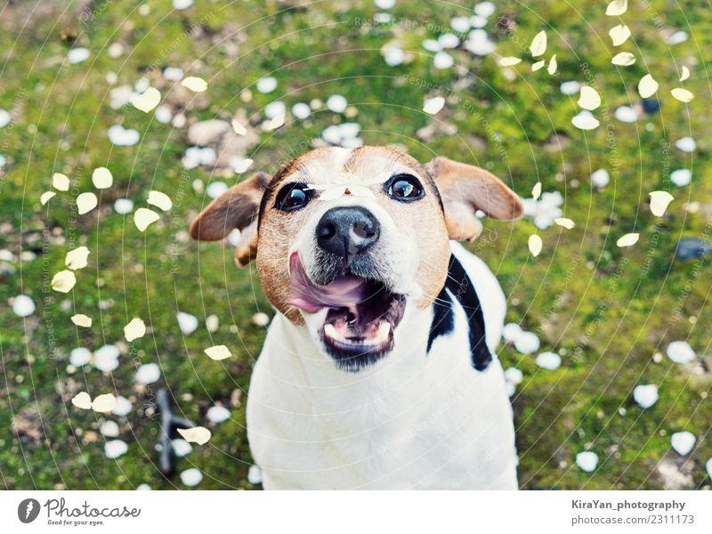Spielerischer junger Jack Russell Terrier fängt Mundkirschblumenblätter Lifestyle Ferien & Urlaub & Reisen Ausflug Freiheit Sommer Sonne Essen Valentinstag