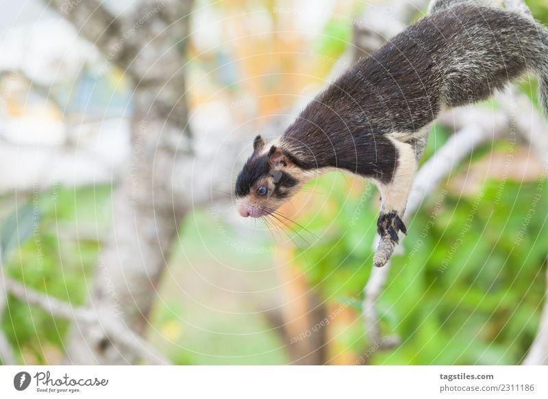 Indisches Riesen-Eichhörnchen auf dem Ast sitzend Tier Asien Balapitiya ruhig Windstille Klettern Essen grün Koddhuwa Koddhuwa Tempel Kothduwa