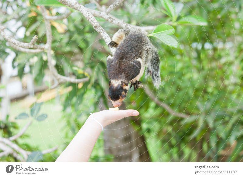 Sri Lanka, indisches Riesen-Eichhörnchen, das an etwas Essen schnüffelt. Tier Asien Balapitiya Sträucher ruhig beruhigend Klettern füttern grün himmlisch Idylle