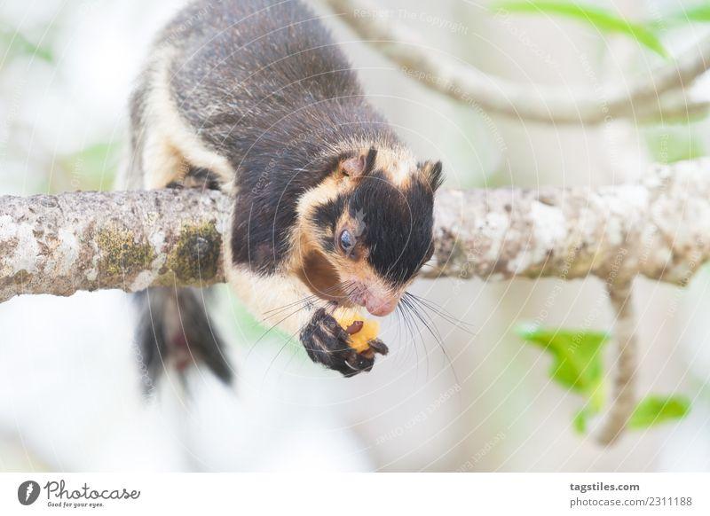 Natur Ferien & Urlaub & Reisen Pflanze Baum Tier Essen Tourismus sitzen beobachten Postkarte Klettern Asien himmlisch friedlich Wildnis Eichhörnchen