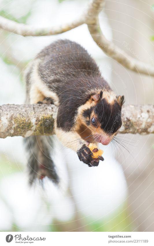 Madu Ganga, Balapitiya, Sri Lanka - Riesen-Indisches Eichhörnchen Tier Asien ruhig Windstille Klettern Essen Riesen-Eichhörnchen grün