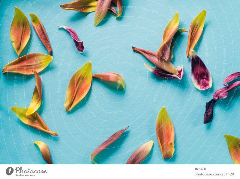 TulpenBlätter II blau gelb Frühling liegen mehrere ästhetisch Vergänglichkeit Tulpe Blütenblatt verblüht Blume