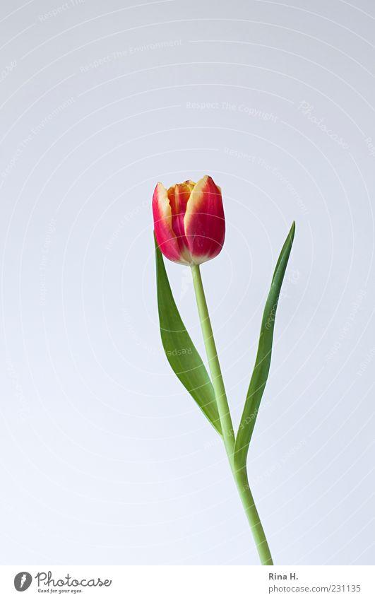 Fast hätte ich's vergessen... Frühling Blume Tulpe Blüte Blühend ästhetisch grün rot Farbfoto Innenaufnahme Menschenleer Textfreiraum links Textfreiraum oben