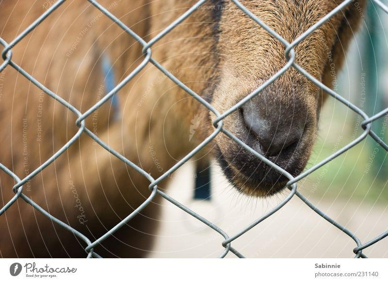 Hinter Gittern - Der Streichelknast grün Tier braun Nase Tiergesicht Fell Zoo Neugier Zaun gefangen Maul Schnauze Gitter Ziegen Nutztier