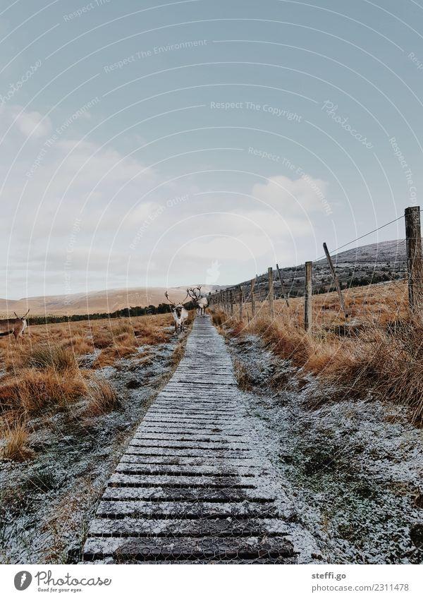 Rentiere in Schottland Natur Ferien & Urlaub & Reisen Landschaft Tier Winter Ferne Berge u. Gebirge Reisefotografie Wege & Pfade Schnee außergewöhnlich Freiheit
