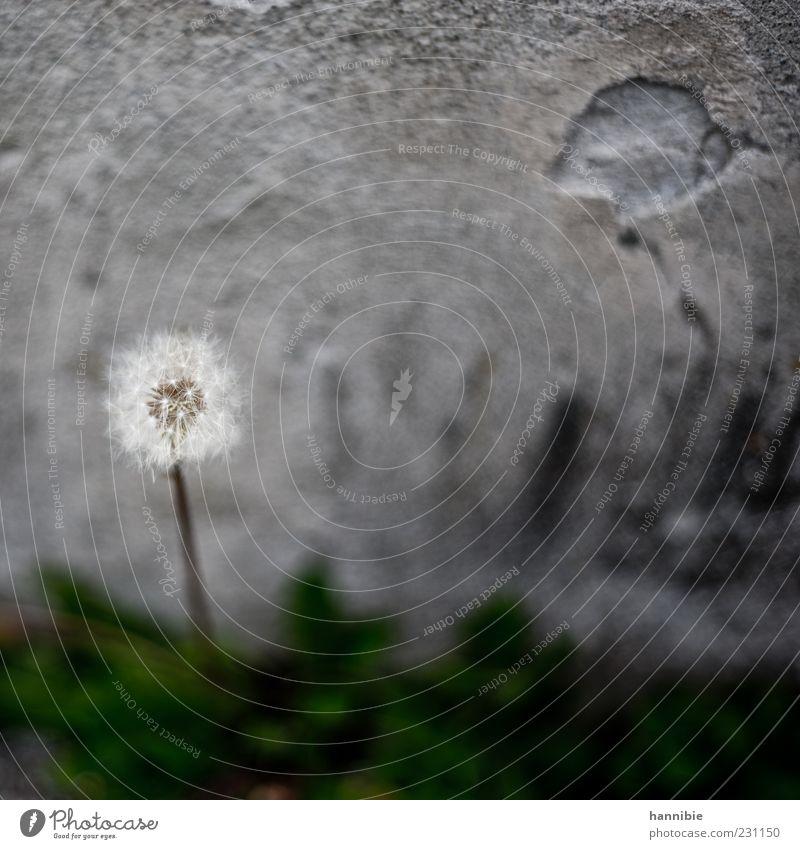 pfffffffffffffffff Natur weiß Blume Wand grau Mauer Wachstum rund weich Wandel & Veränderung zart Löwenzahn Betonwand