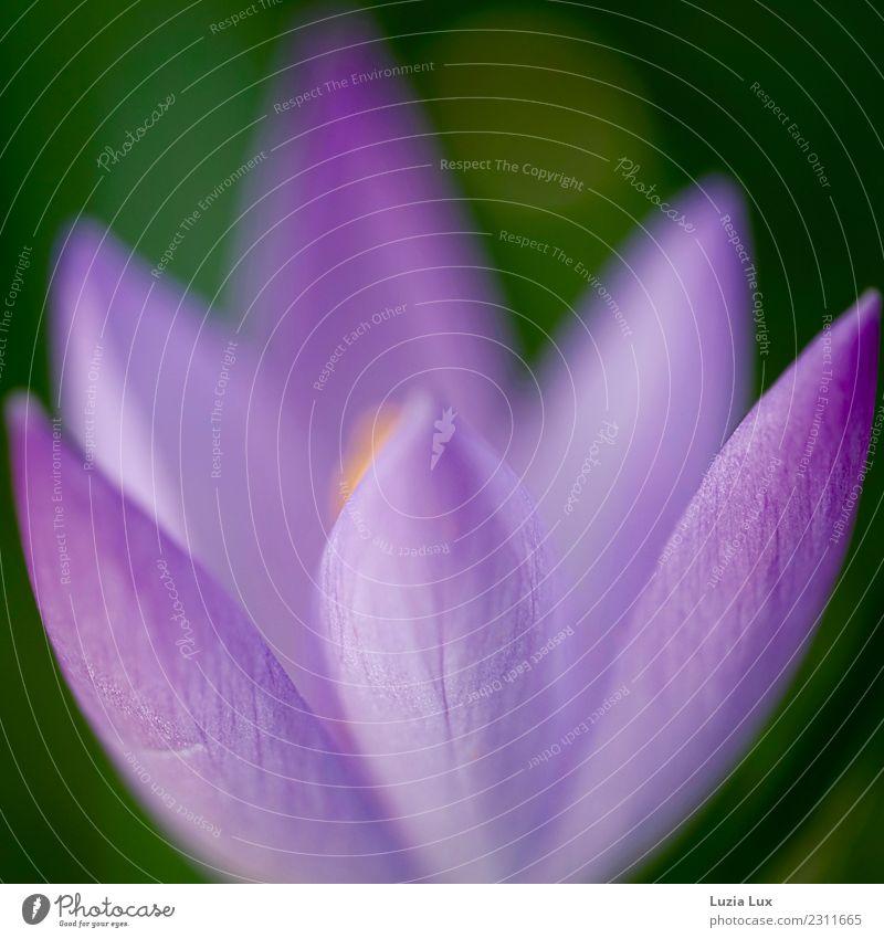 Frühling, lila, zart Umwelt Natur Pflanze Blume Blüte Krokusse Garten Park ästhetisch schön Stadt violett leuchten mehrfarbig Außenaufnahme Licht Kontrast