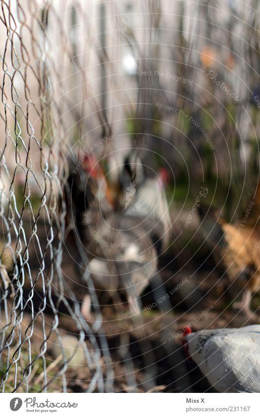 Hühner hinterm Zaun Tier Vogel braun Feder Tiergruppe Landwirtschaft Zaun Massentierhaltung Tierzucht Haushuhn Nutztier unklar Hahn schemenhaft Tierhaltung Stall