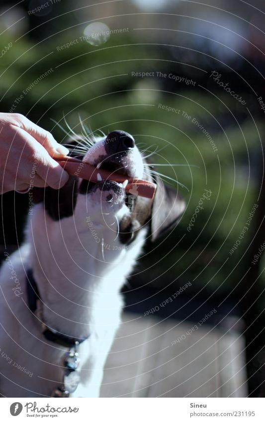 Lecker Schmecker Tier Haustier Hund 1 Fressen füttern lecker Belohnung Kauknochen Farbfoto Außenaufnahme Menschenleer Tag Sonnenlicht Schwache Tiefenschärfe