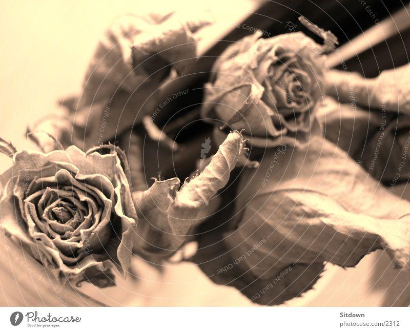 dryrose Rose getrocknet Blume Dinge Sepia