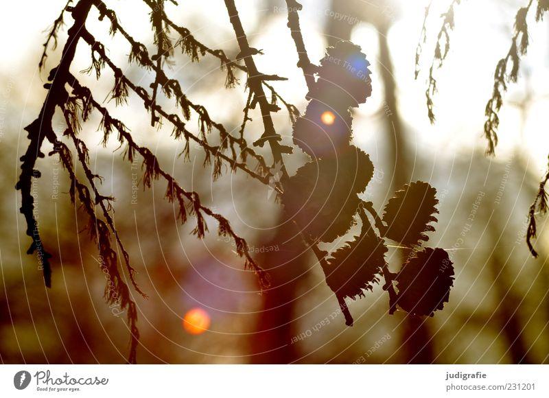 Wald Natur Baum Pflanze Umwelt Stimmung natürlich Wachstum Tannenzapfen