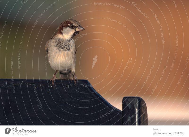 Alles unter Kontrolle... Tier Holz braun orange Vogel lustig klein sitzen Stuhl Tiergesicht Neugier Lebewesen Wildtier Wachsamkeit Schnabel frech