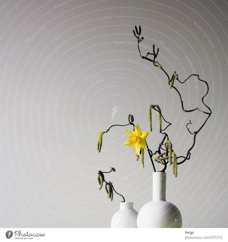 zwei weiße Blumenvasen mit Kringelzweigen einer Haselnuss und blühender gelber Narzisse vor weißem Hintergrund Pflanze Frühling Blüte Narzissen Gelbe Narzisse
