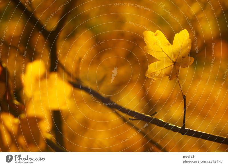 Gelbes Herbstblatt im Sonnenlicht Natur Pflanze Baum Blatt Wald gelb Umwelt Garten Park gold Ast Bauwerk Zweig Stengel