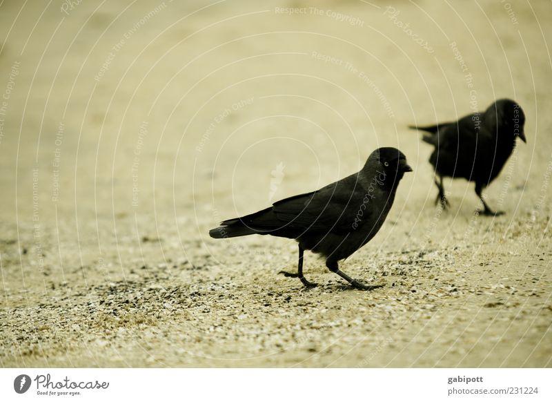 Strand-Dohlen schwarz Tier Bewegung Sand Vogel Zusammensein gehen laufen Tierpaar Feder Schnabel Krähe gefiedert Rabenvögel