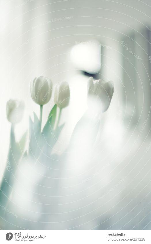 peng. frühling! weiß schön Pflanze Stil elegant natürlich frisch ästhetisch einzigartig weich Kitsch Blumenstrauß Duft Tulpe Gegenlicht