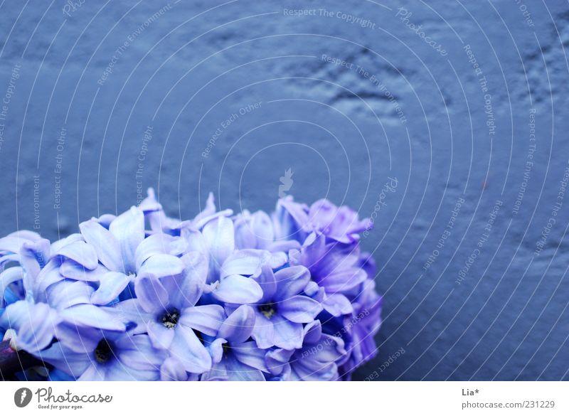 Hyazinthe vor lila Mauer Frühling Pflanze Blume Blüte Blühend Duft blau violett Frühlingsblume Frühlingsfarbe Dekoration & Verzierung Hintergrundbild Farbfoto