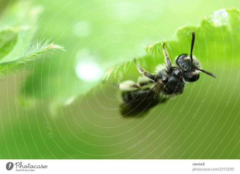 Insekt hängt kopfüber an einem Blatt Tier Frühling Pflanze Gras Fliege Biene 1 hängen warten ästhetisch schön wild weich grün schwarz Insektenschutz Regen