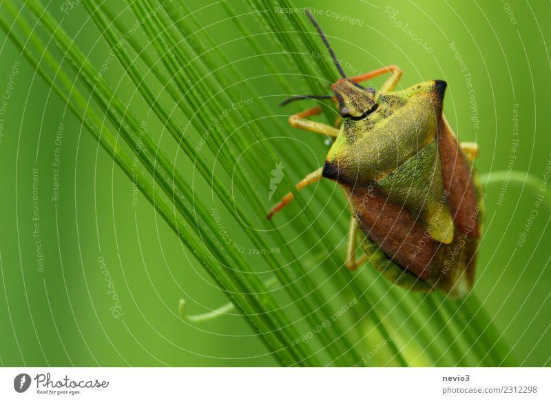 Wanze Umwelt Natur Pflanze Tier Frühling Gras Blatt Grünpflanze Nutzpflanze Wiese Feld klein grün Gefühle Frühlingsgefühle fleißig diszipliniert Insekt