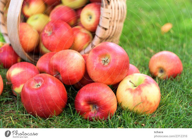Rote reife Äpfel - Hausernte Gemüse Frucht Apfel Sommer Sonne Garten Gartenarbeit Natur Landschaft Pflanze Herbst Baum Gras Blatt frisch lecker natürlich saftig